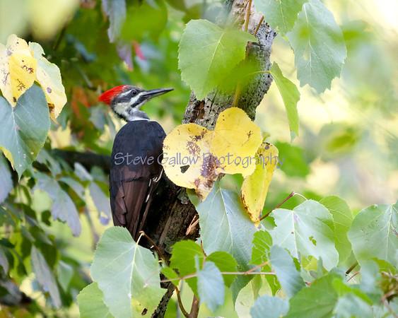 Pileated Woodpecker, Owasco Lake NY
